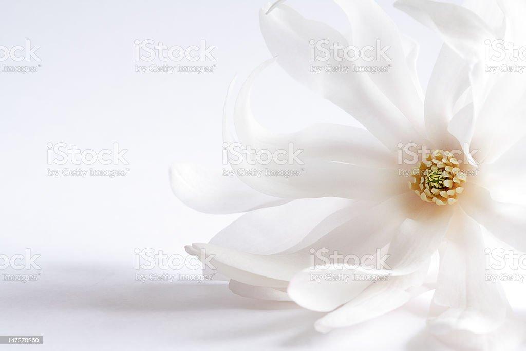 Magnolia royalty-free stock photo