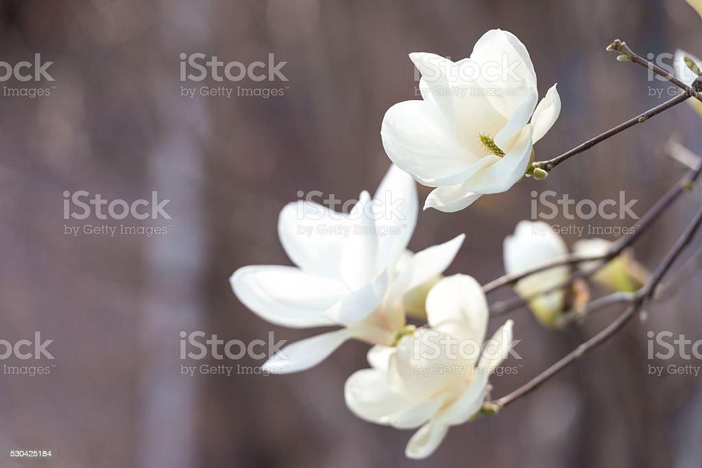 magnolia zbiór zdjęć royalty-free