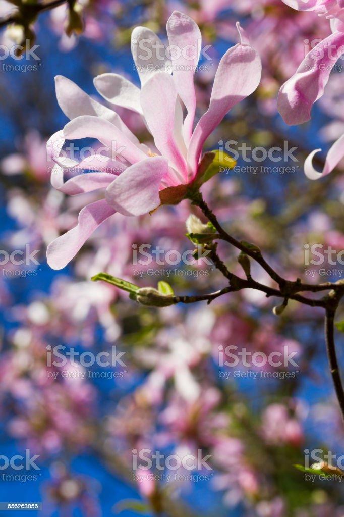 Magnolia pink flowers in garden stock photo