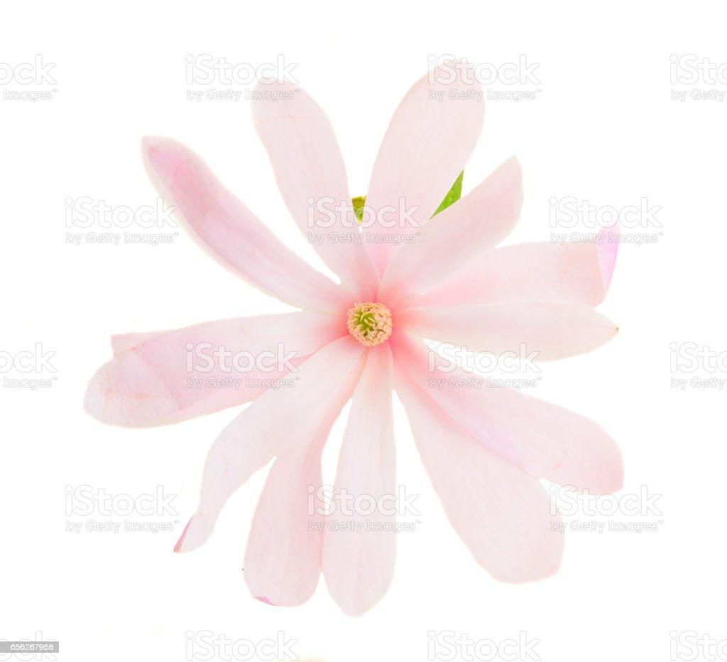 Magnolia pink flowers stock photo