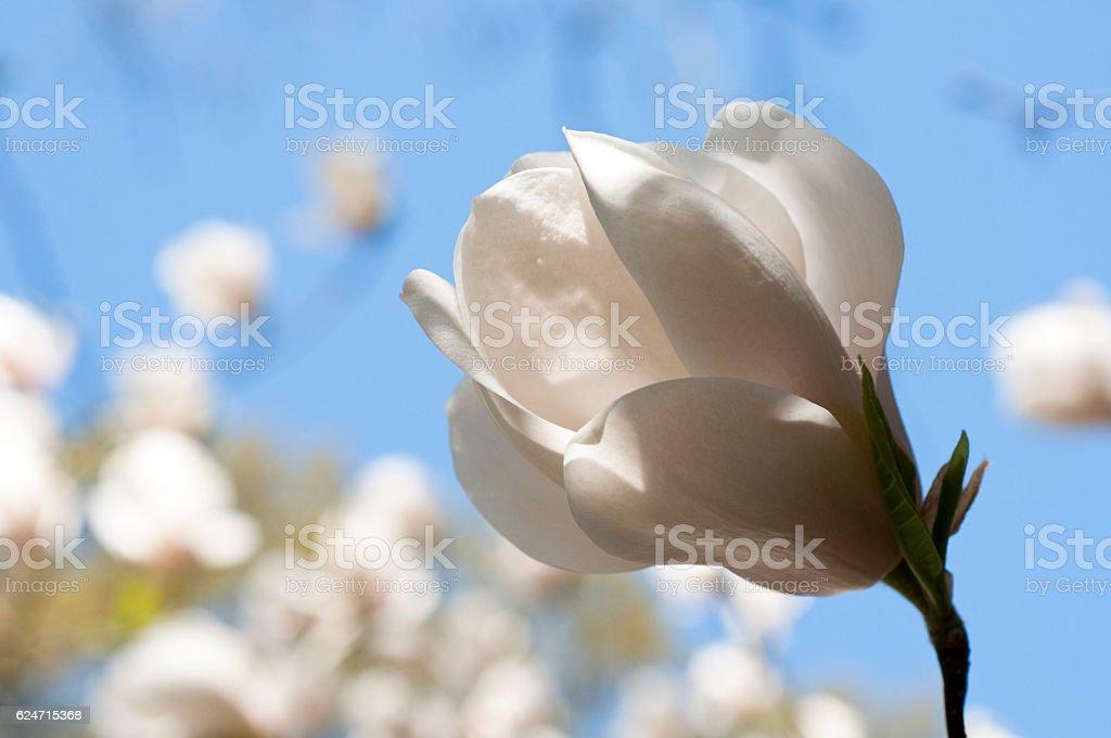 Magnolia SAYONARA stock photo