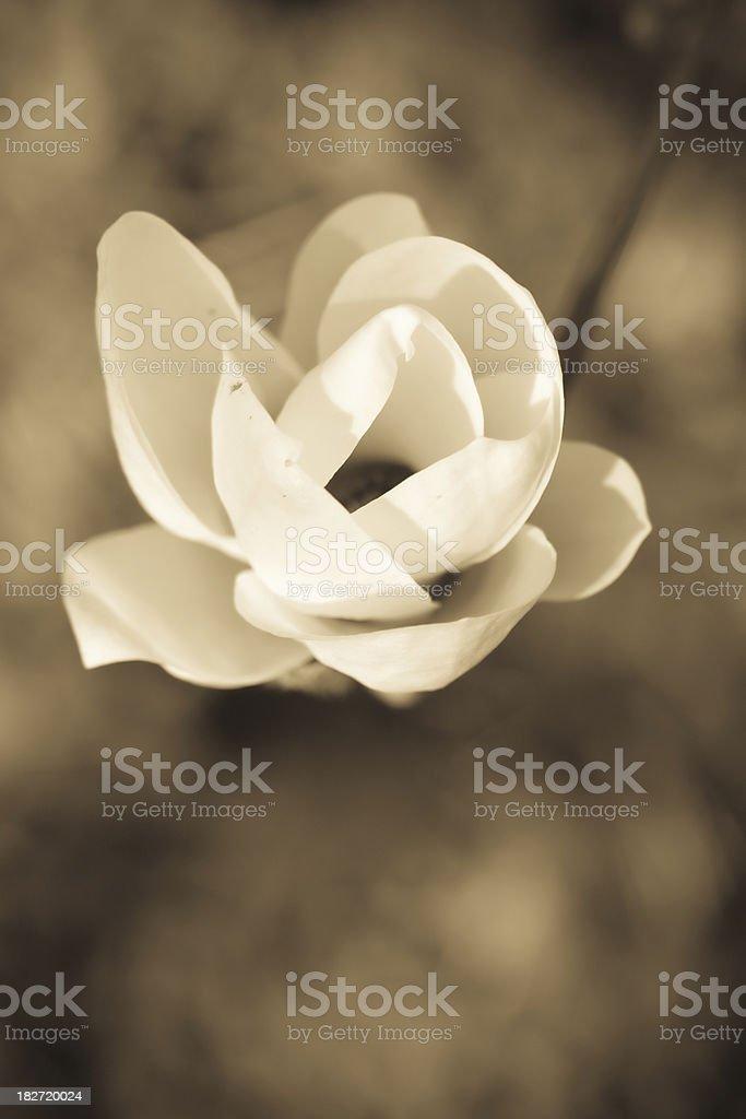 Magnolia - sepia image royalty-free stock photo