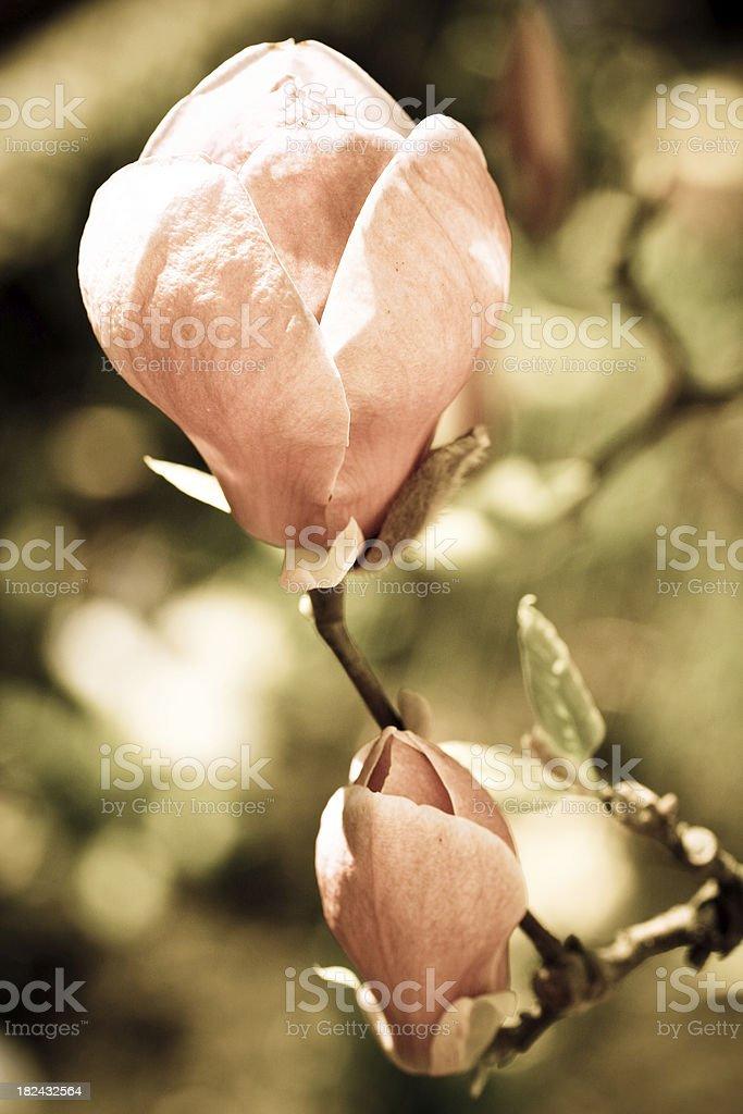 Magnolia sepia toned image royalty-free stock photo