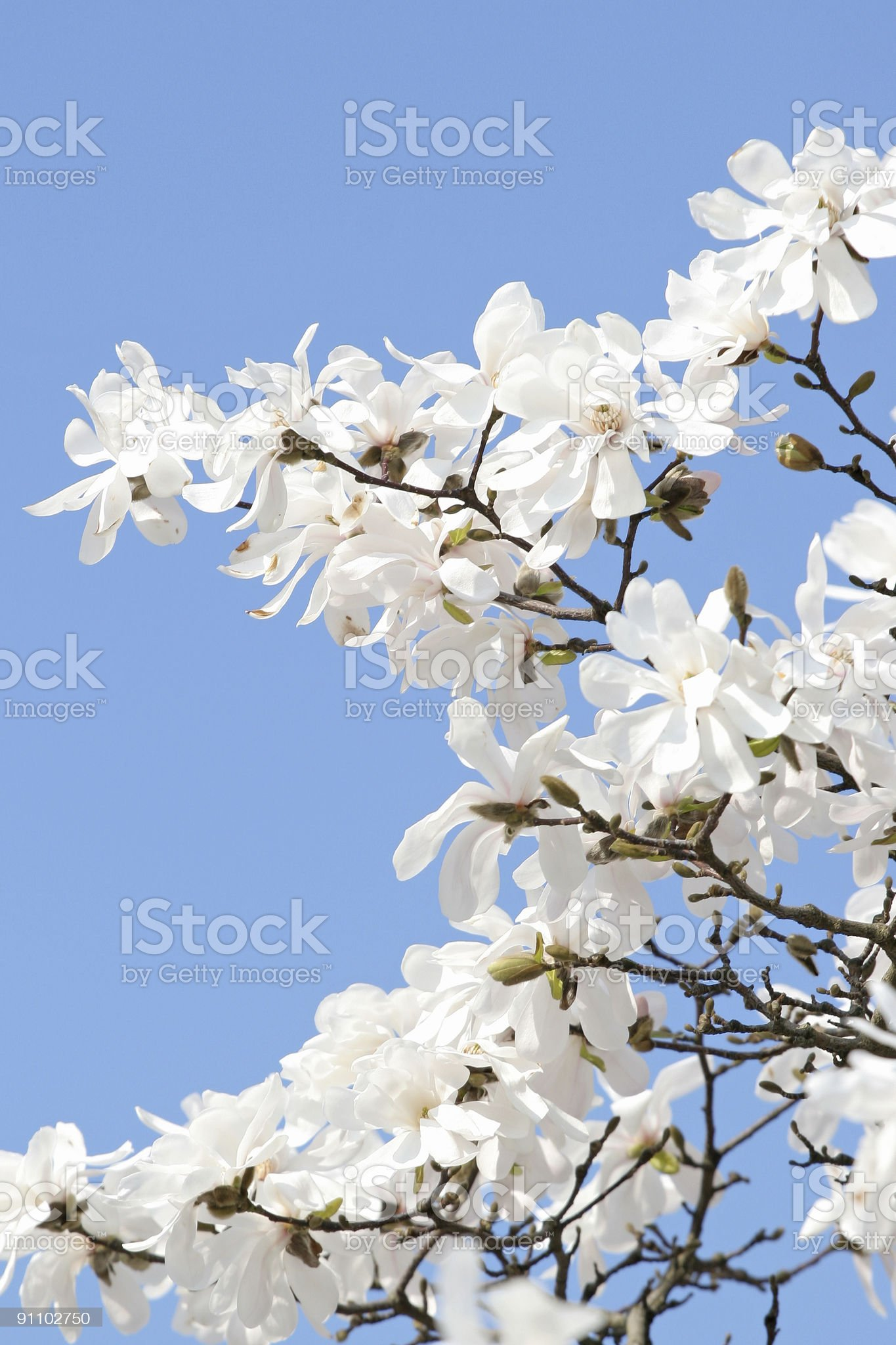 Magnolia series V royalty-free stock photo