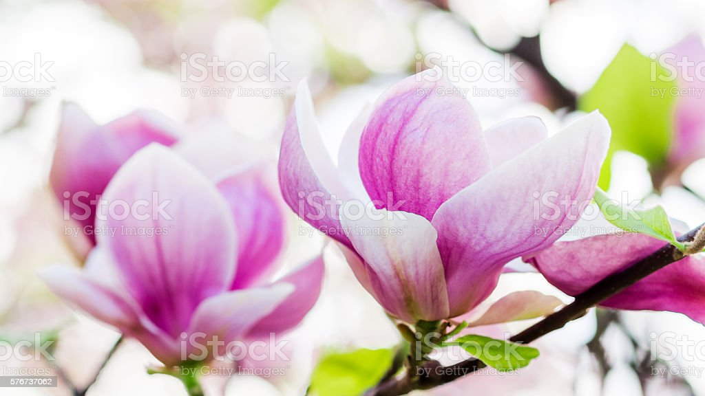 magnolia soulangeana blossoming, spring time stock photo