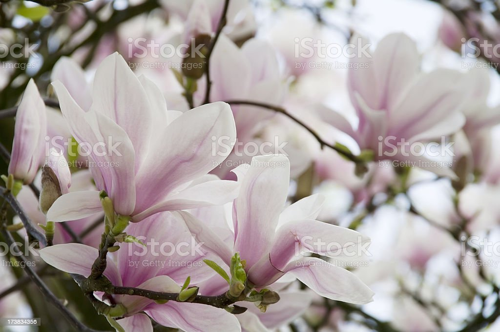 Magnolia soulangeana in bloom stock photo