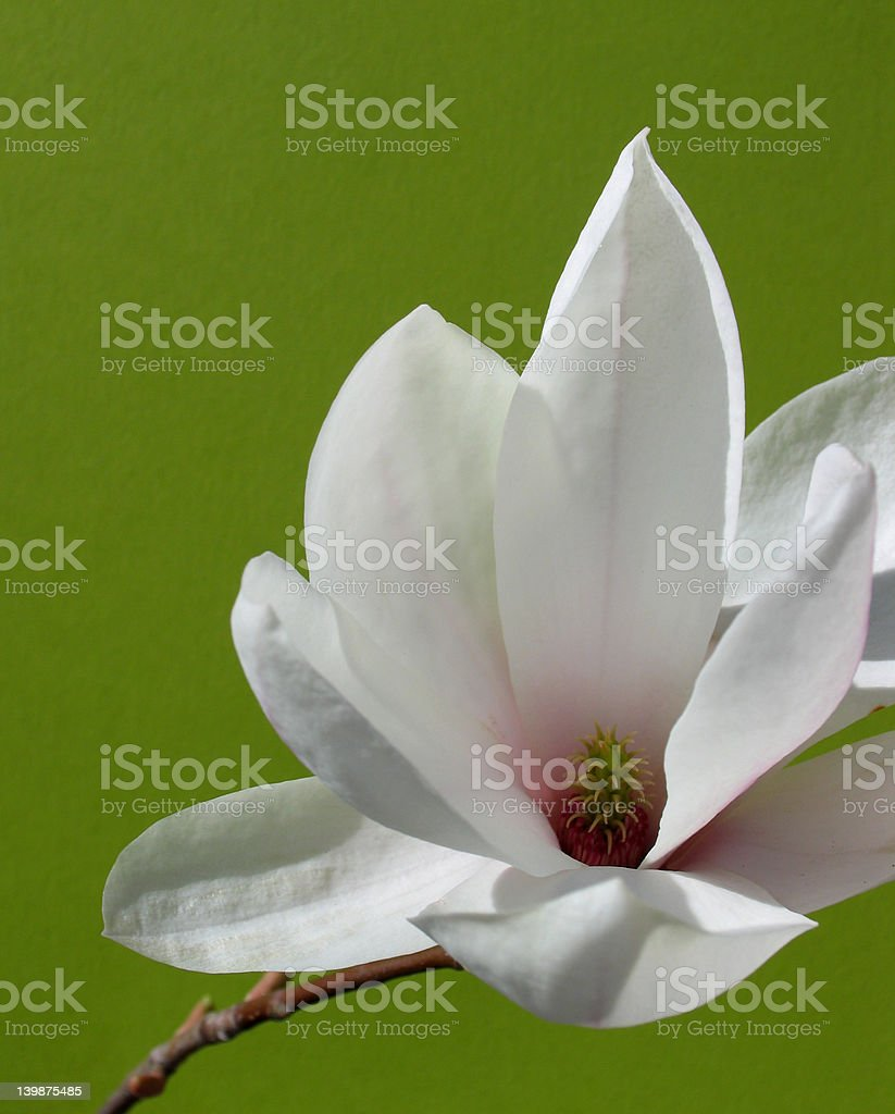Magnolia soulangeana royalty-free stock photo