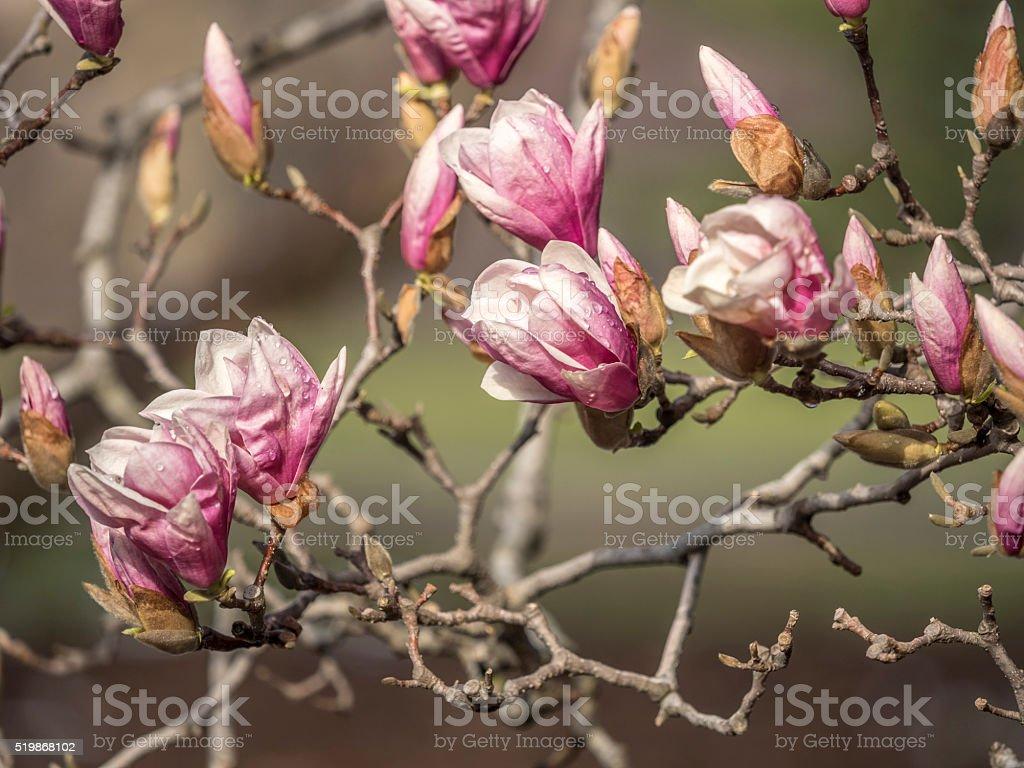 Magnolia  soulangeana,saucer magnolia tree stock photo