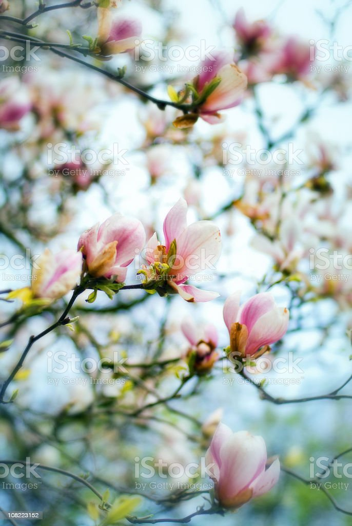 Magnolia Spring Flowers royalty-free stock photo
