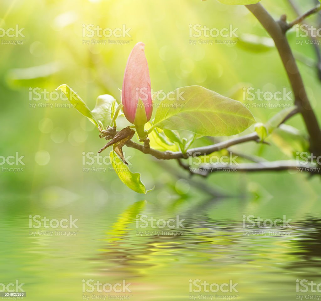 Magnolia spring flowers stock photo
