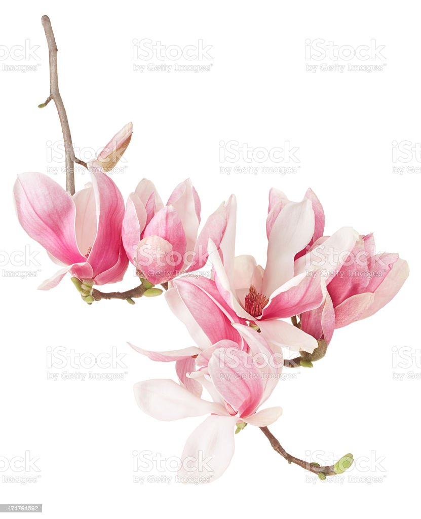 Magnolia, spring pink flower branch and buds stock photo