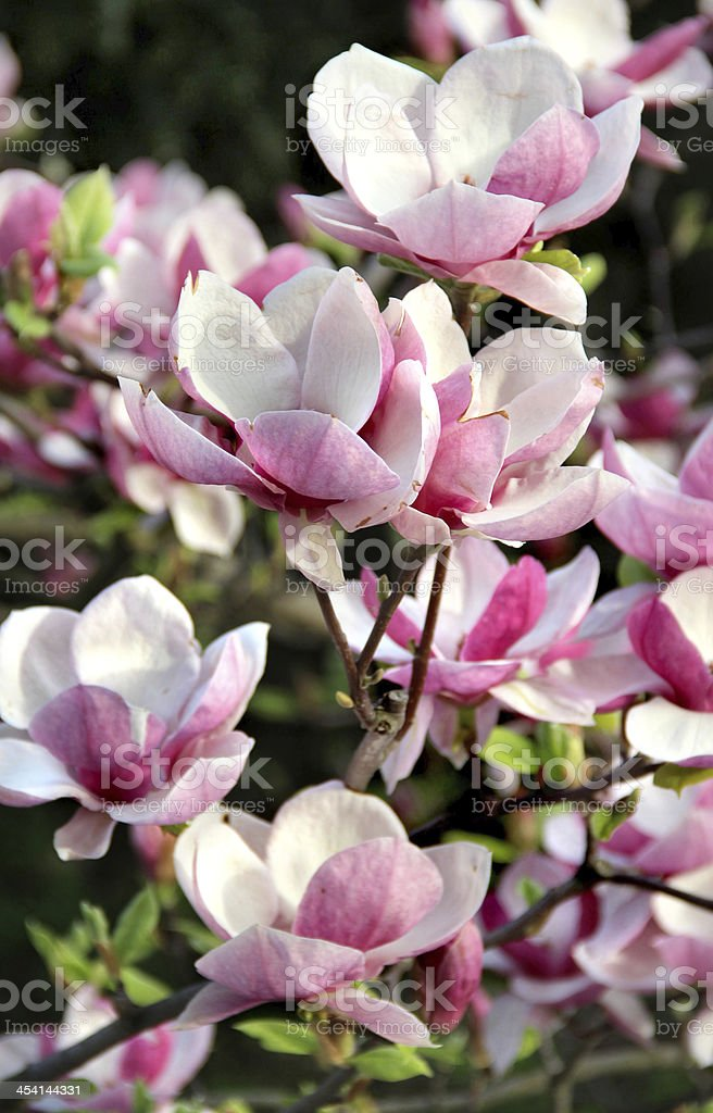 Magnolia spring trees in bloom royalty-free stock photo