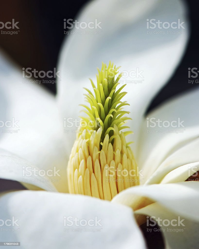 Magnolia stamens royalty-free stock photo