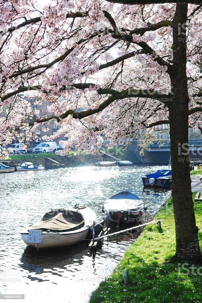 Magnolia Tree blooming in Amsterdam stock photo
