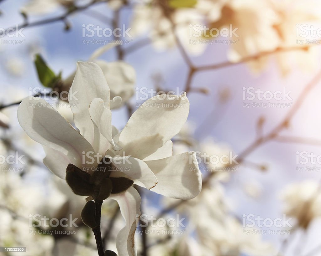 magnolia tree blossom in springtime royalty-free stock photo
