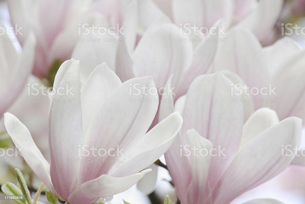 magnolia tree blossom royalty-free stock photo