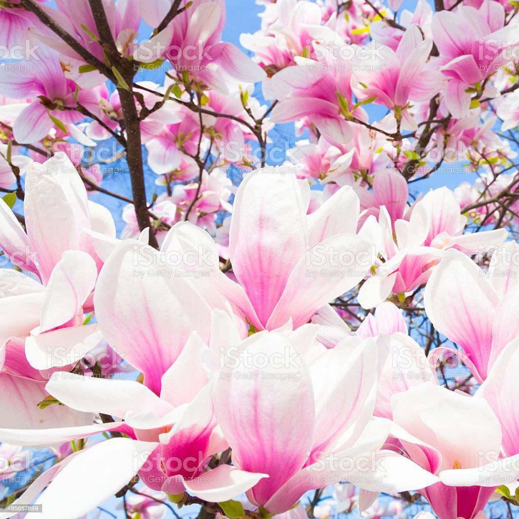 Magnolia tree blossom. stock photo