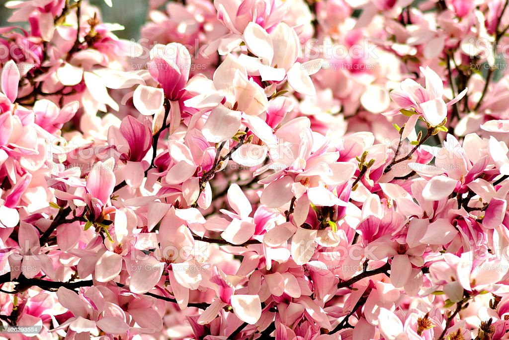 Magnolia tree blossom with big pink flowers in spring, daytime. stock photo