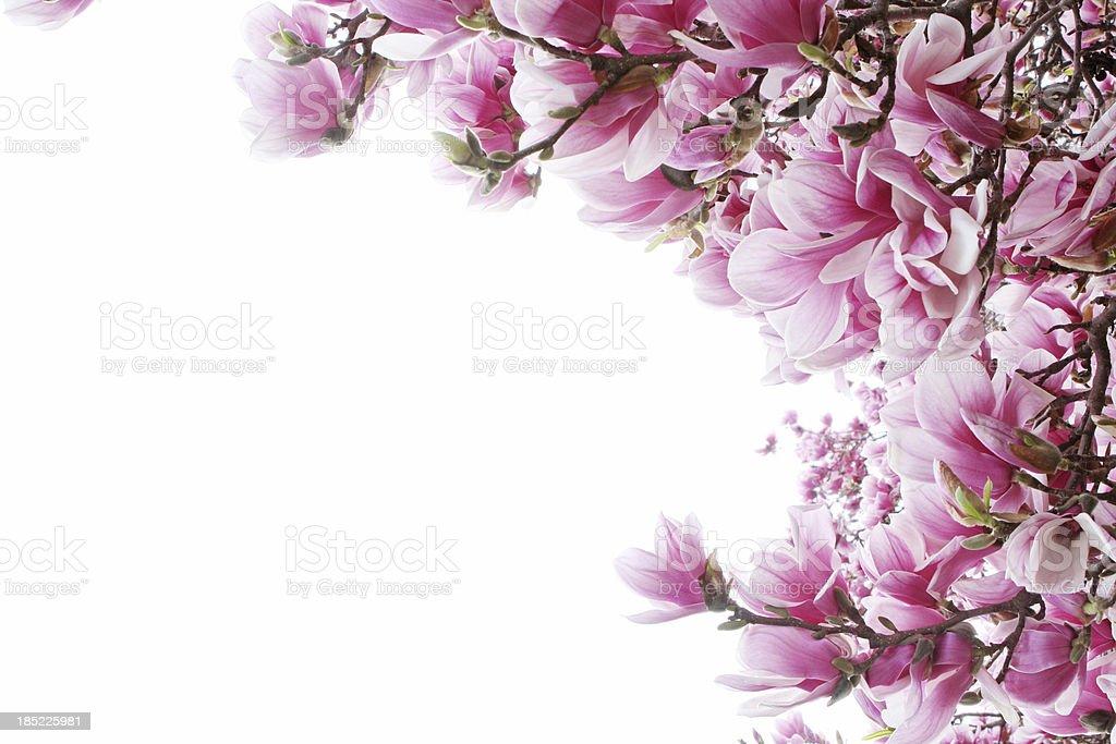 magnolia tree border royalty-free stock photo