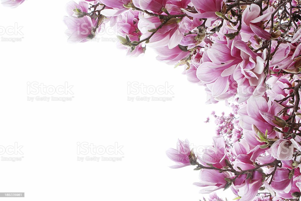 magnolia tree border stock photo