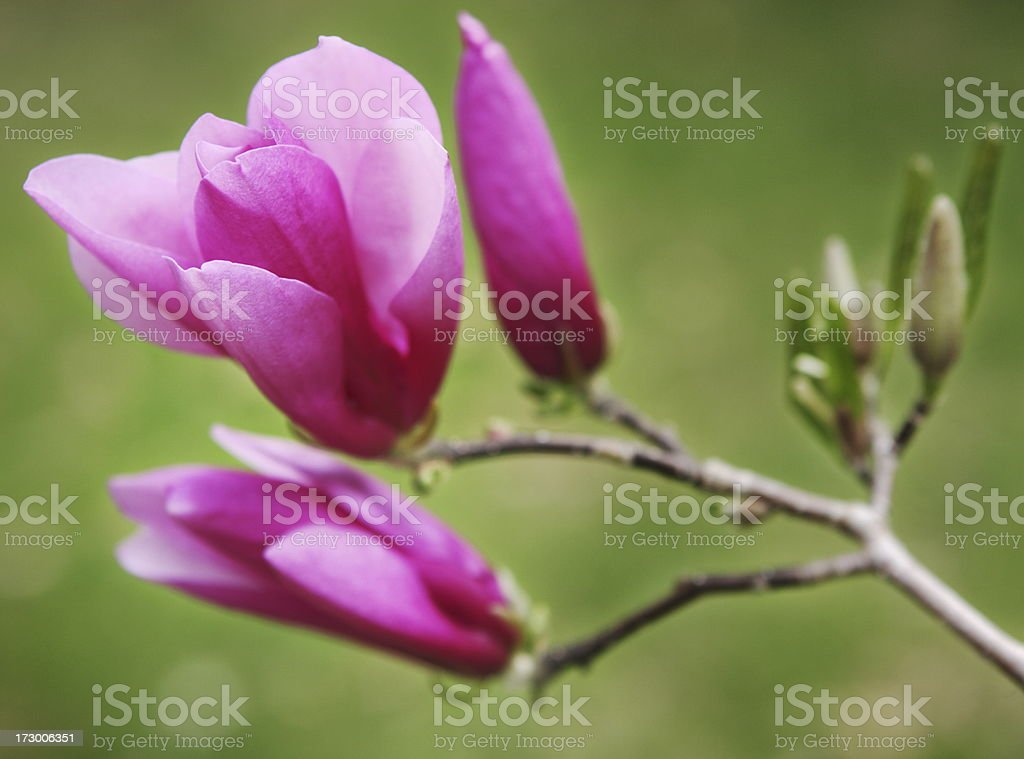Magnolia Tree Flower Blossom Branch Spring royalty-free stock photo