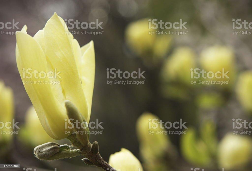 Magnolia Tree Flower Blossom Spring Garden royalty-free stock photo