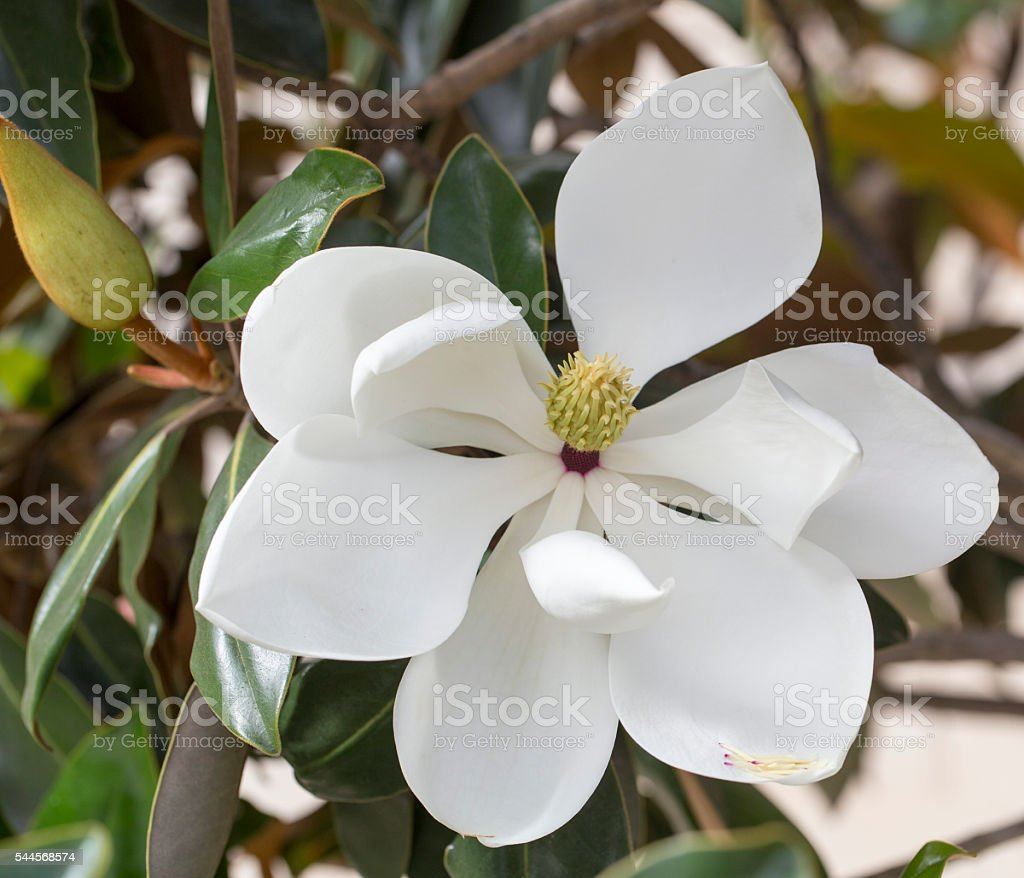 Magnolia tree flower stock photo