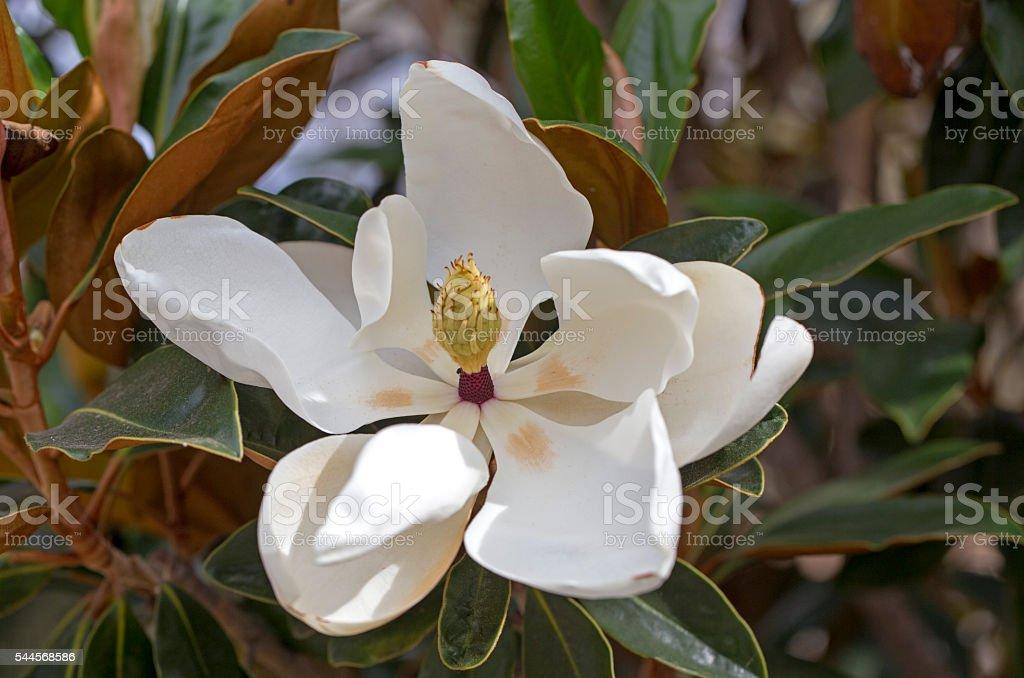 Magnolia tree flower stock photo