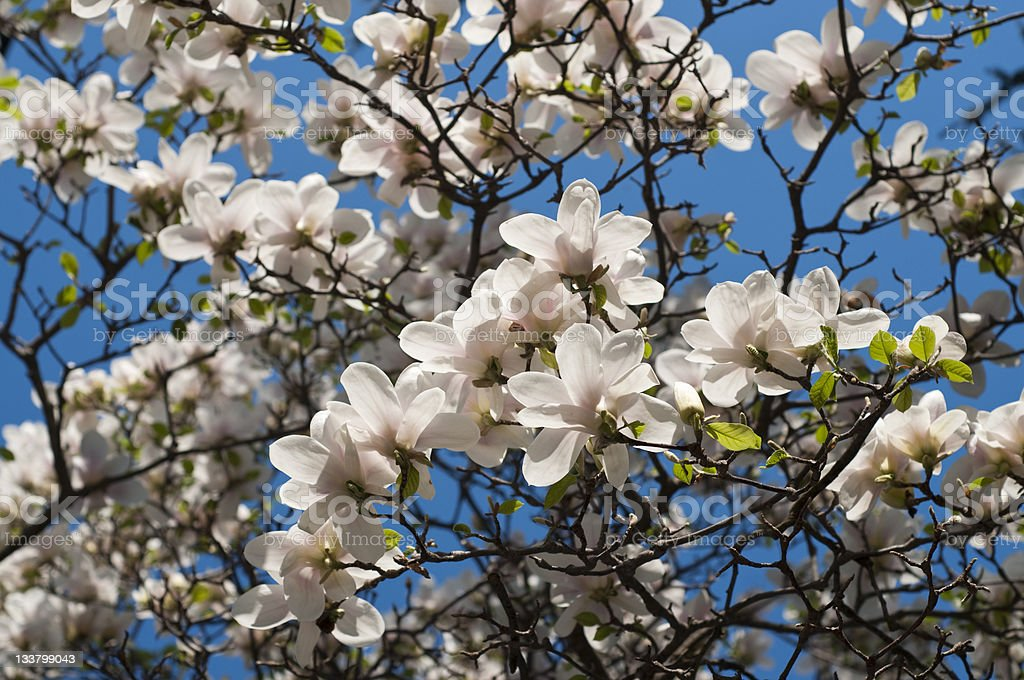 Magnolia tree in bloom royalty-free stock photo