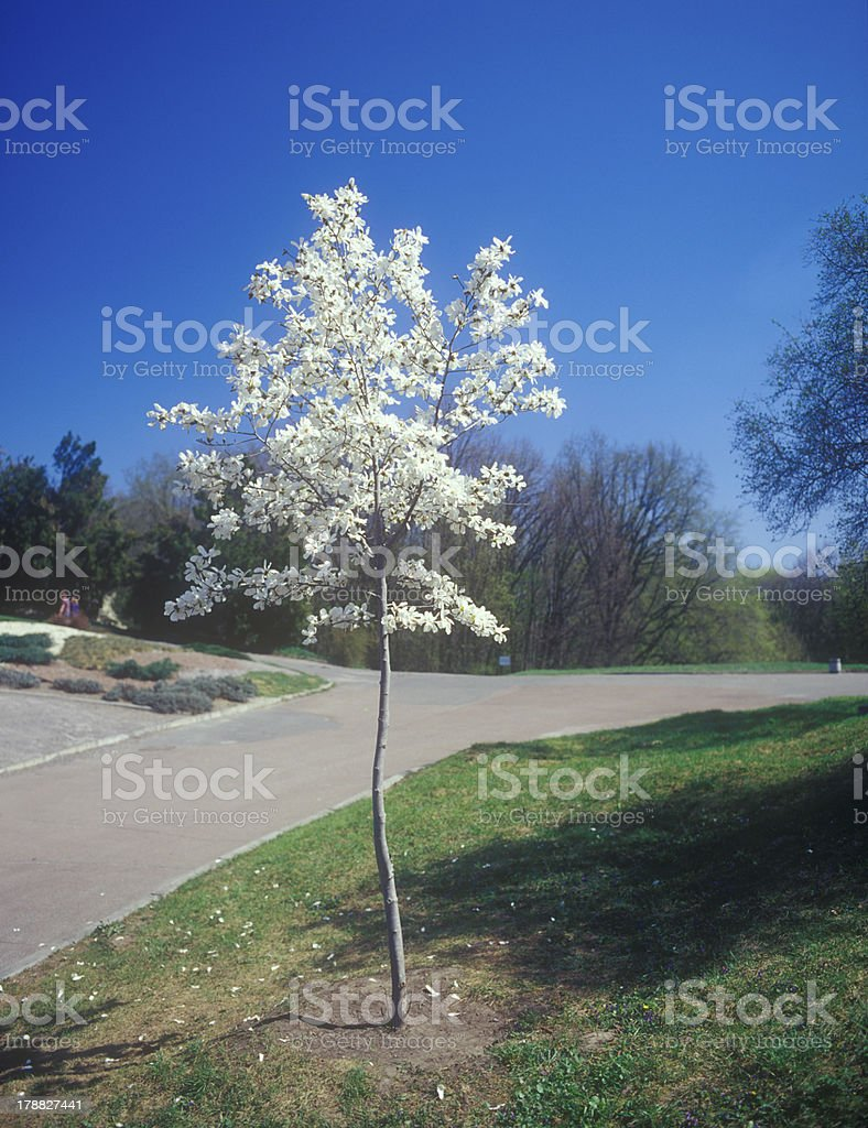 Magnolia tree in bloom. royalty-free stock photo