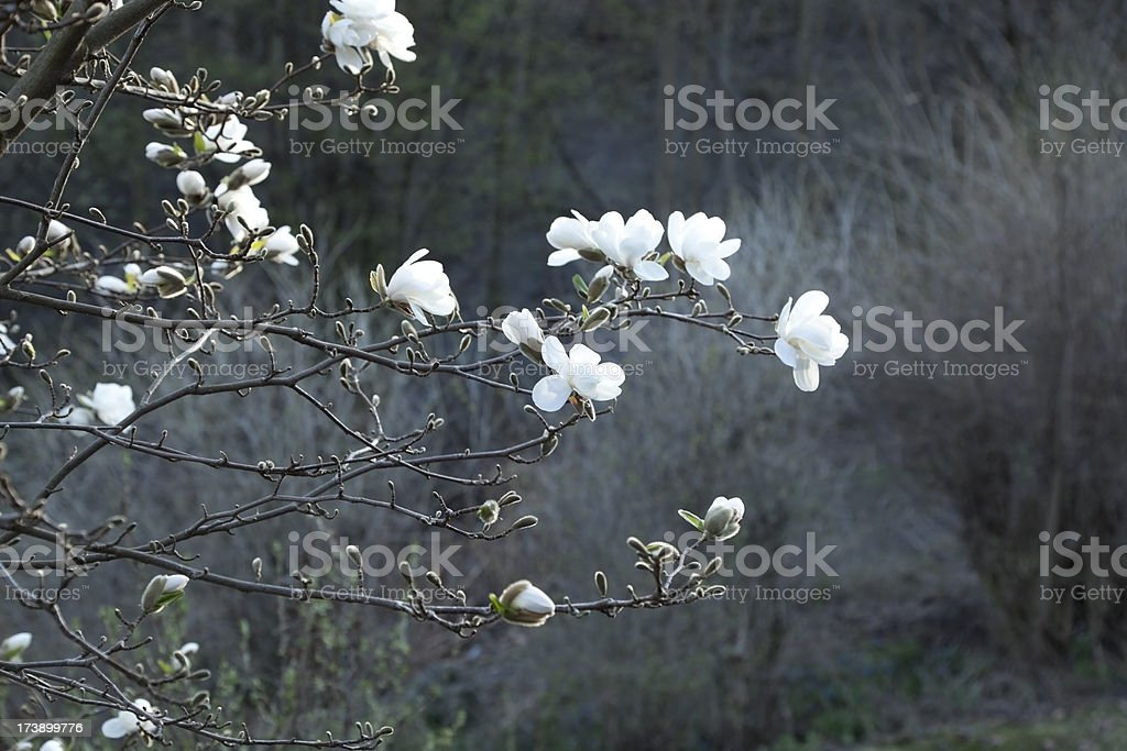 Magnolia tree in blossom with gray background. royalty-free stock photo