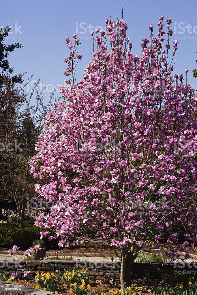 Magnolia tree in full bloom stock photo