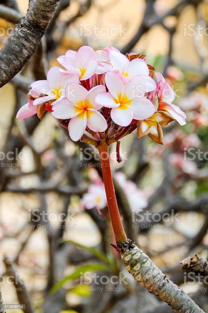 Arbre en fleur de Magnolia photo libre de droits