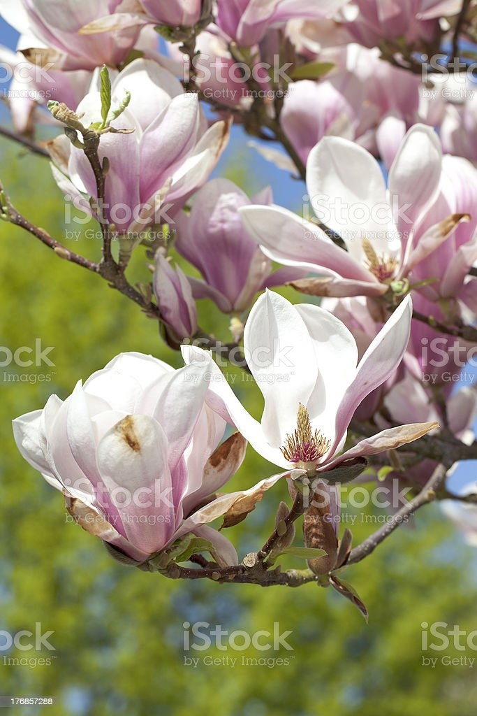 magnolia tree stock photo