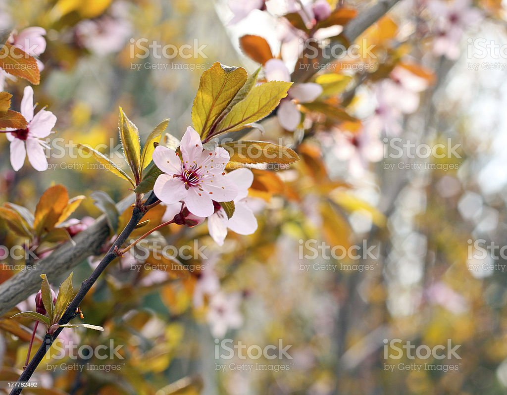 magnolia tree royalty-free stock photo