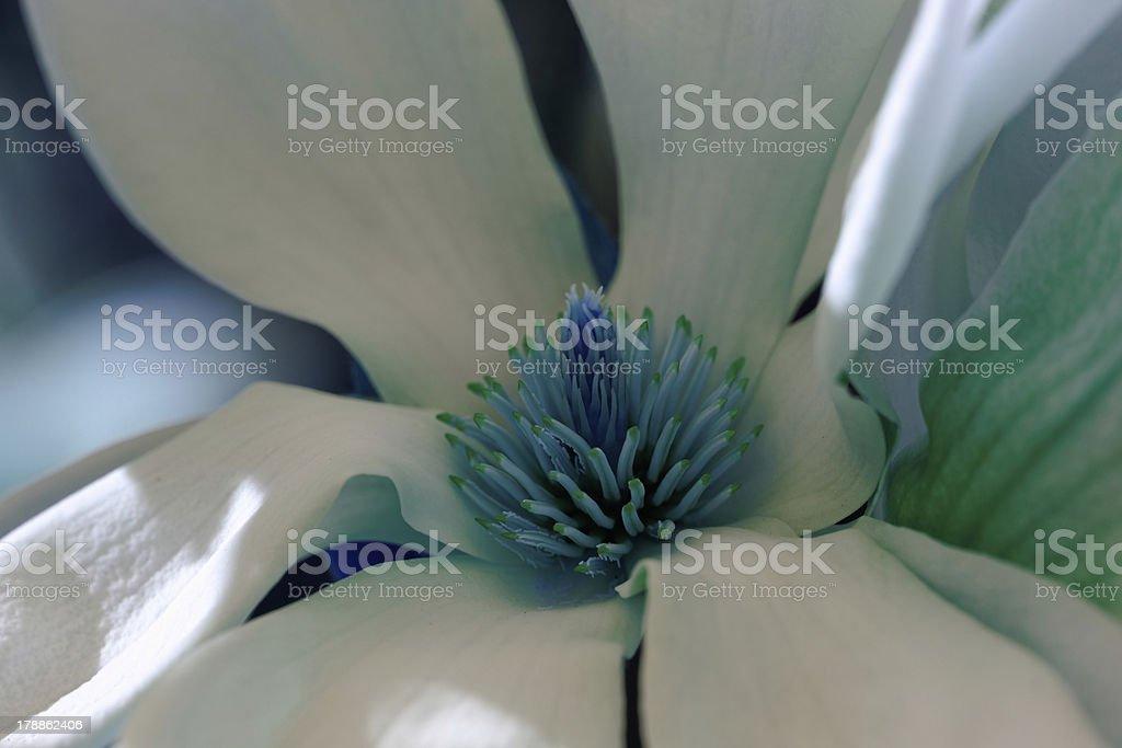 Magnolia tree royalty-free stock photo