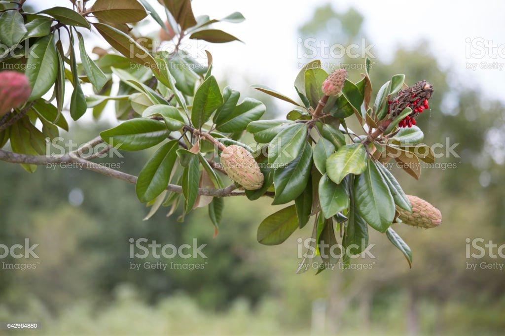 Magnolia Tree stock photo