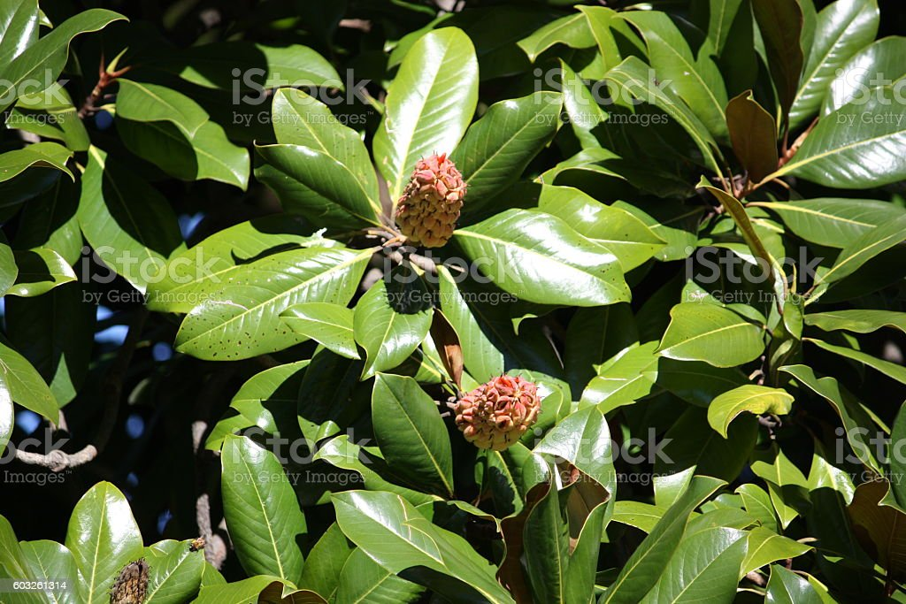 Magnolia tree with cones in fall stock photo