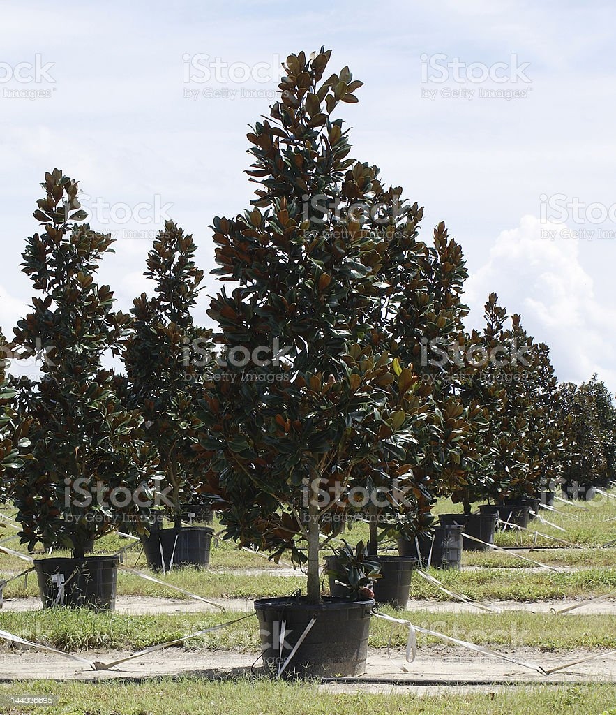 Magnolia Trees In A Row royalty-free stock photo