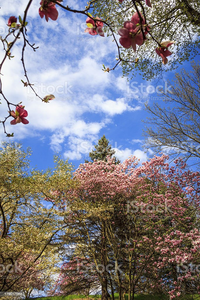 Magnolia Trees in Bloom stock photo