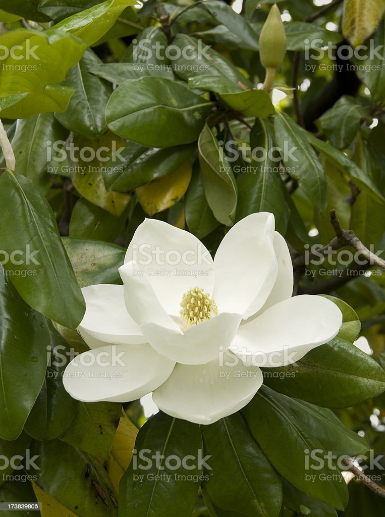 Magnolia, vertical stock photo