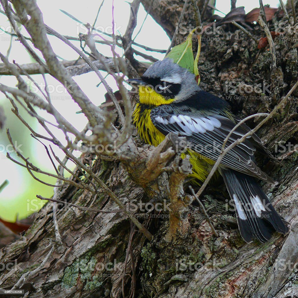 Magnolia Warbler stock photo