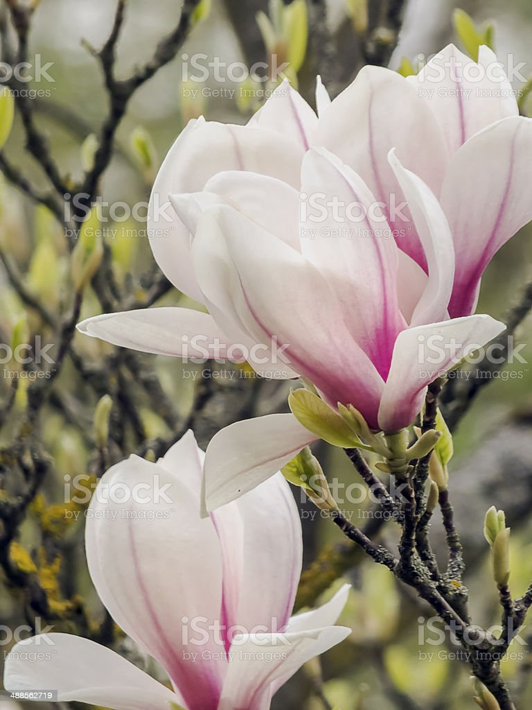 Magnolia x Soulangiana stock photo