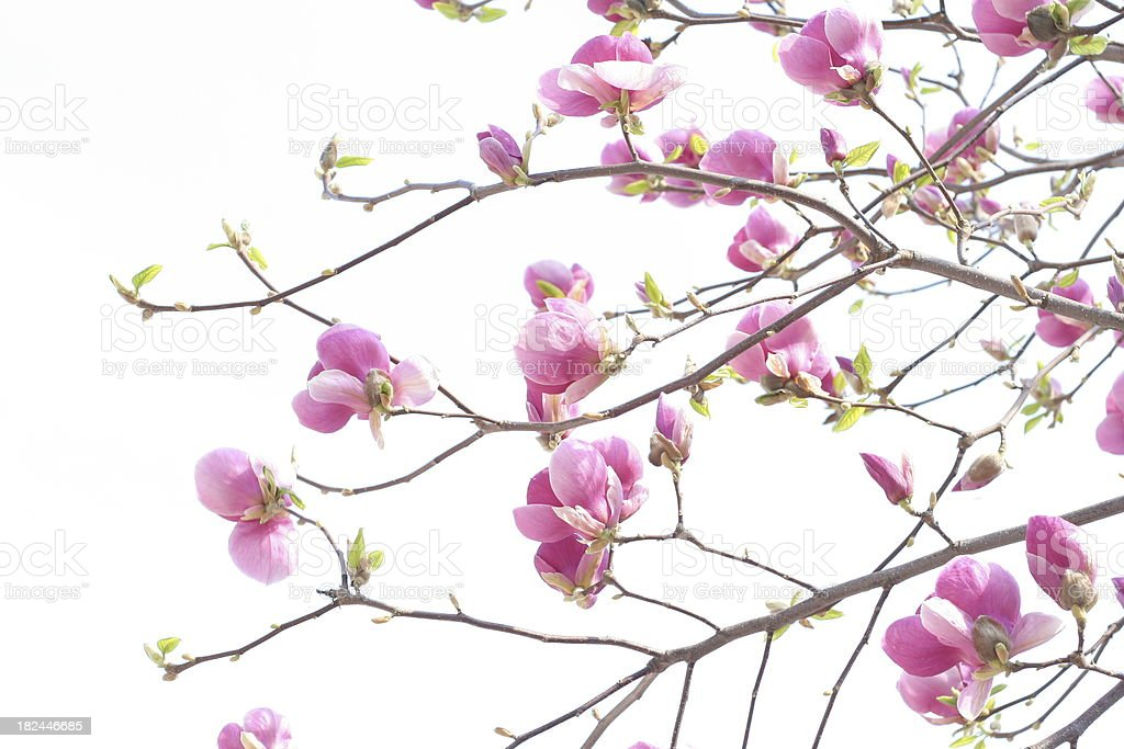 magnolias . LARGE COLLECTION please check royalty-free stock photo