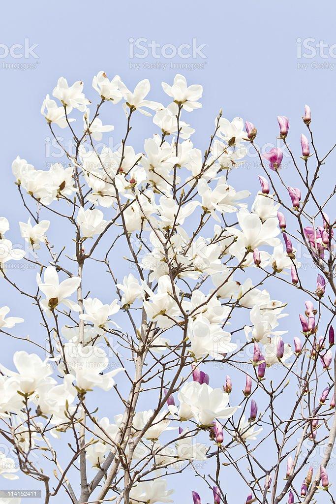 Magnolie royalty-free stock photo