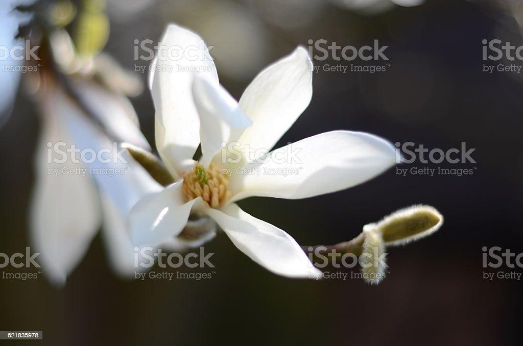 Magnolienblüte stock photo