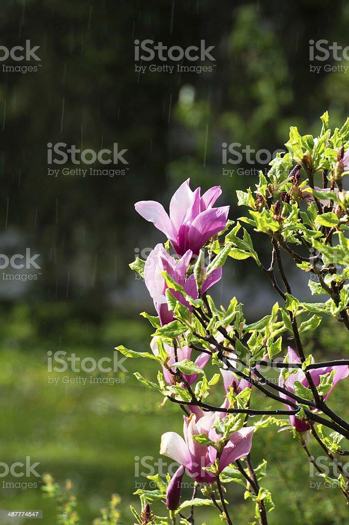 Magnoly rain1 に ロイヤリティフリーストックフォト