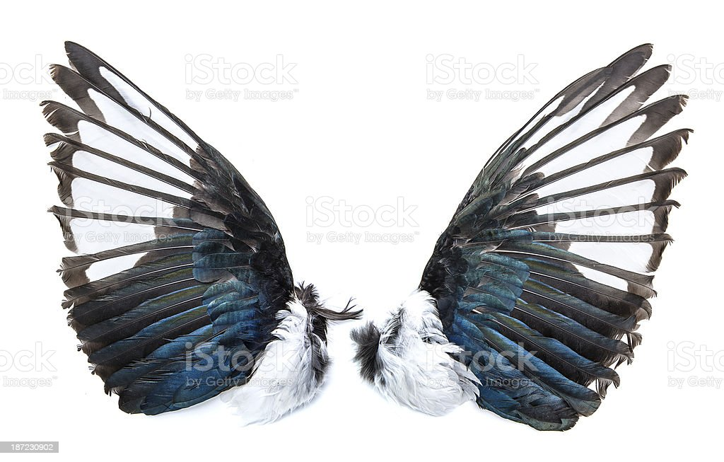 Magpie bird wings royalty-free stock photo