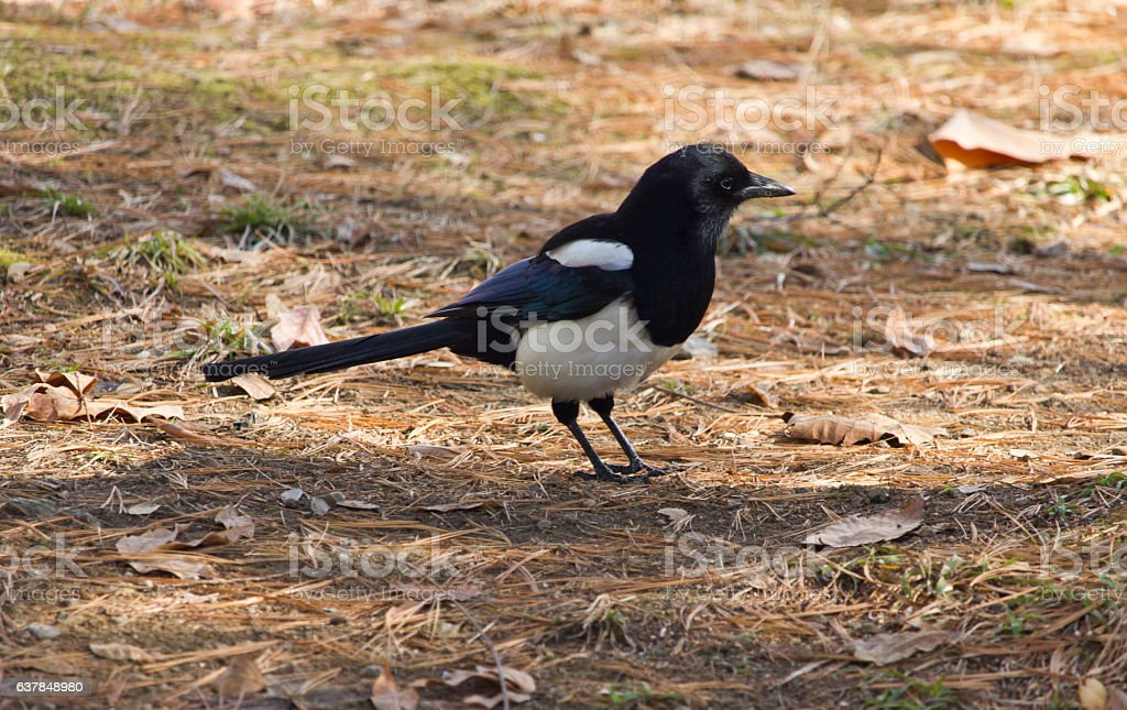 magpie fallen leaves stock photo