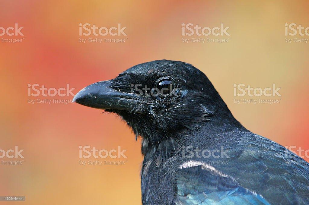 Magpie head stock photo